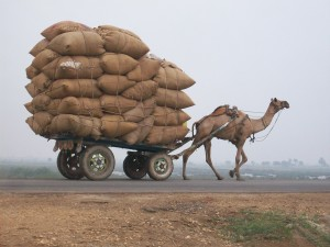 Camel hauling heavily laden cart.