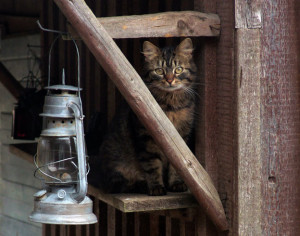 lantern-cat-(sm-cr)