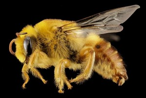 Extreme close-up of a plasterer bee.
