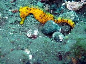 Yellow seahorse.