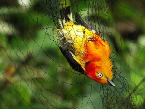 Colorful bird trapped in a birding net.