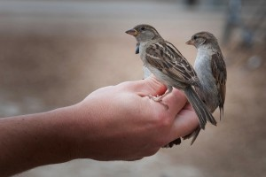 Two small sparrows perched on a man's hand.