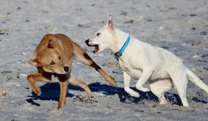 Two dogs playing on the beach; one dog is far more aggressive.