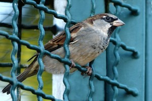 Sparrow perched within a blue wire fence grid.