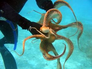 Scuba diver handling small octopus.