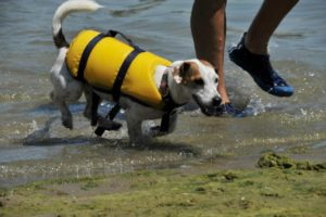 Little dog in yellow life vest coming out of the surf beside his master.