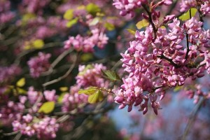 A branch of the Judas Tree with pink blossoms in sharp focus.