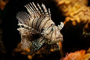 Close-up of a lionfish in an aquarium.