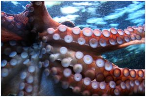 An octopus' suction cupped arms against the glass of an aquarium.