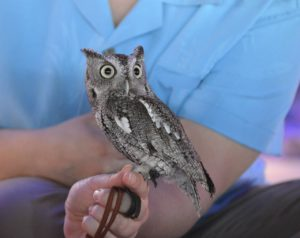 Small captured owl on leash, perched on woman's arm.
