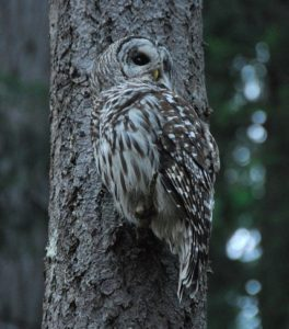 Nocturnal owl blending into gray tree trunk.