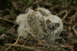 A fuzzy newborn owlet.