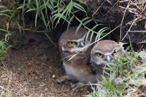 Two young owlets glaring out from under green cover.