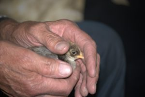 A man's hands cupped gently around a small bird.