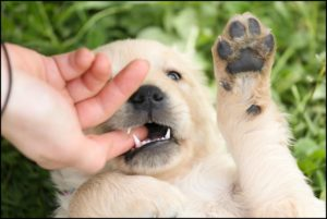 A puppy on it's back, gnawing gently on someone's finger.