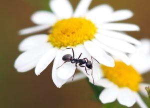 A black ant on a flower.