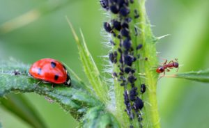 An ant guarding it's aphid herd from a predatory ladybug.