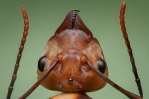 Close-up of a queen ant's head.