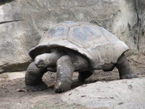 A giant land tortoise walking.