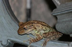 A tree frog clings to some wooden scroll work.
