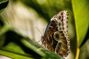 Blue Morpho butterfly with wings folded.