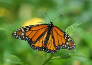 The Monarch butterfly.