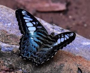 A butterfly resting on a ledge, with blue, black and white markings.