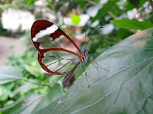 Glass Wing butterfly.