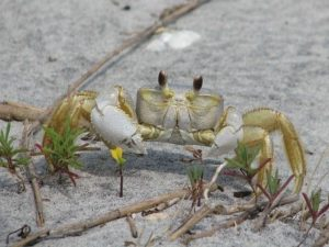 Ghost crab on the beach.