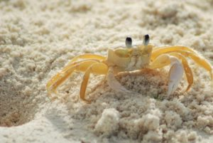 Ghost crab near it's burrow on the beach.