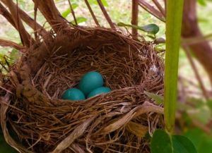Three bright blue eggs in a Robin's nest.