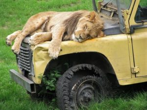 A male lion asleep on the hood of a broken-down, yellow jeep.