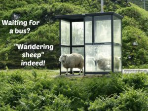 """Sheep standing in a bus shelter, with the words """"Waiting for a bus? Wandering sheep indeed!"""""""